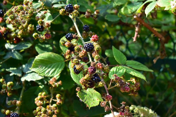 Whisby Nature Park blackberries